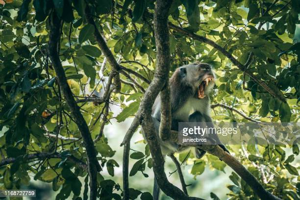 capuchin monkey yawning on a branch - herbivorous stock pictures, royalty-free photos & images