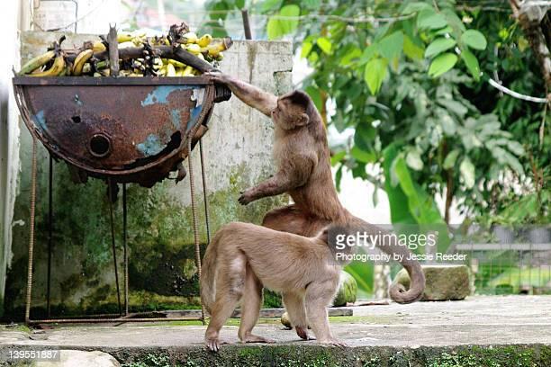 Capuchin monkeys steal bananas