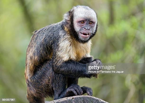 capuchin on the log - mono capuchino fotografías e imágenes de stock