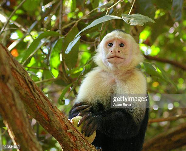 capuchin - capuchin monkey stock pictures, royalty-free photos & images