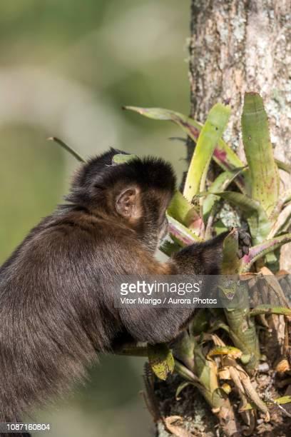 capuchinmonkey, itatiaianational park, mantiqueiramountains, riodejaneiro, brazil - bromeliaceae stock pictures, royalty-free photos & images