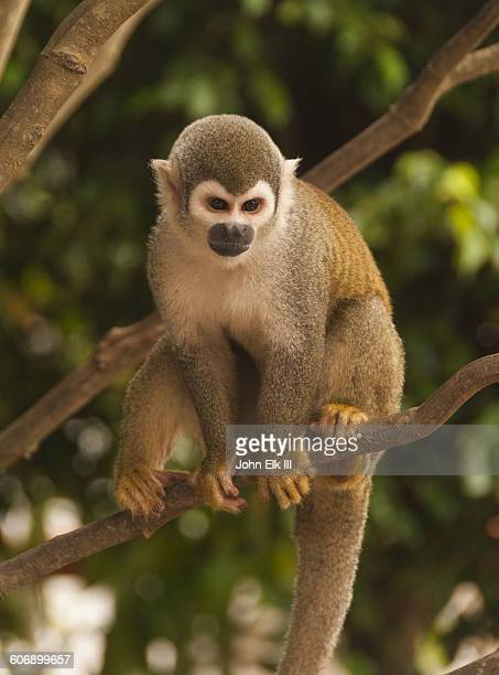 capucin monkey in amazon rainforest tree - capuchin monkey stock pictures, royalty-free photos & images
