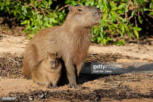 Capybara (Hydrochoerus hydrochaeris) adult and cub