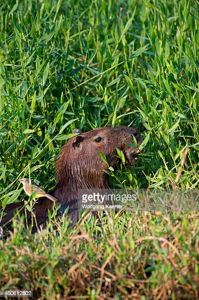 Capybara along a river bank of a tributary of the Cuiaba River near Porto Jofre in the northern Pantanal, Mato Grosso province in Brazil. Capybaras...