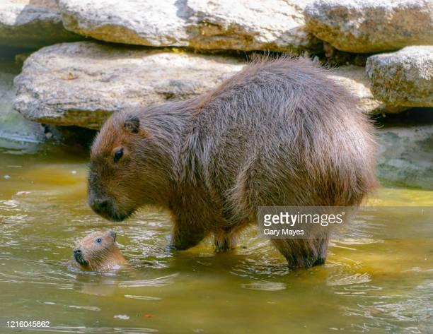 capybara and baby - capybara stock pictures, royalty-free photos & images