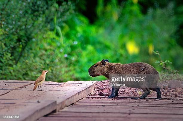 Capybara and bird