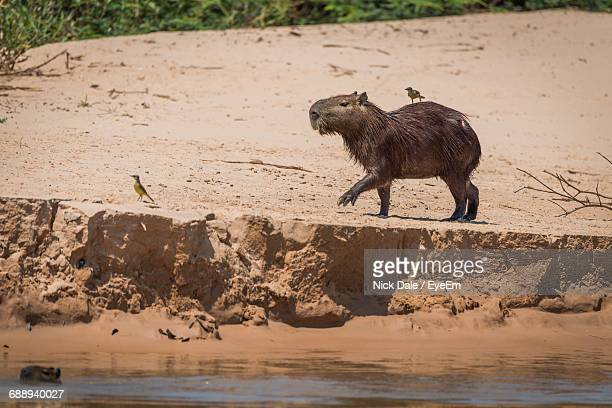 Capybara And Birds On Shore