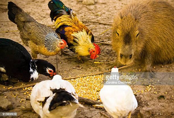capybara and the birdies - capybara stock pictures, royalty-free photos & images
