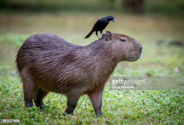 capybara and the cattle bird - capybara stock pictures, royalty-free photos & images