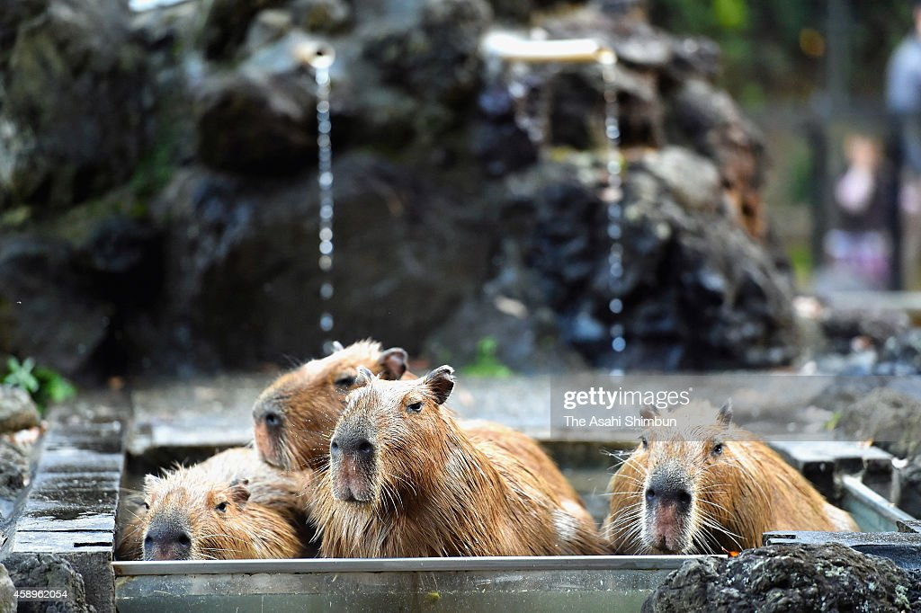 Capybara are seen bathing in an outdoor hot spring at Saitama Children's Zoo on November 14, 2014 in Higashimatsuyama, Saitama, Japan. The annual event will be until end of March.