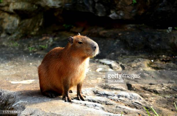 Capybara are seen in their enclosure at Taronga Zoo on September 26, 2019 in Sydney, Australia. The capybara is native to South America and is the...
