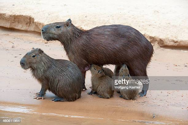 Capybara babies nursing on a beach at a tributary of the Cuiaba River near Porto Jofre in the northern Pantanal, Mato Grosso province in Brazil....