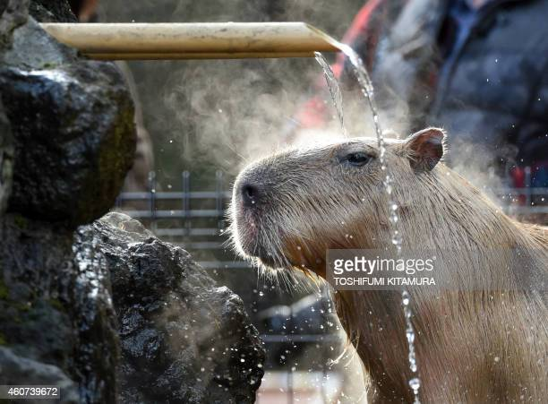 A Capybara bathes in the hot spring water at the Saitama Children's zoo in Higashi Matsuyama city Saitama prefecture on December 21 2014 Seven...