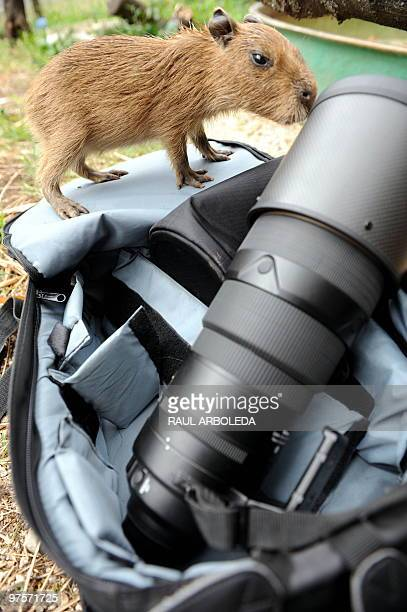 Capybara born in captivity fifteen days ago, smells a photographic lens at the Santa Fe Zoo, in Medellin, Antioquia Department, Colombia, on March 8,...