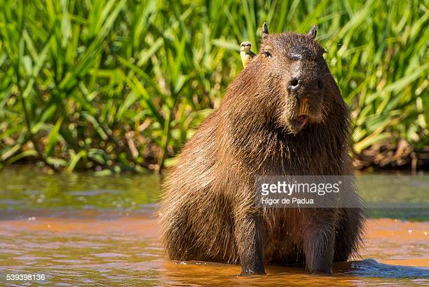 a capybara calm resting in a shallow river with a bird on its back - capybara stock pictures, royalty-free photos & images