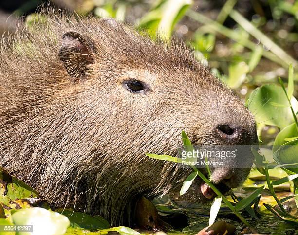 capybara eating plant - posadas stock pictures, royalty-free photos & images