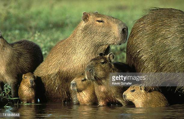 PA135-4 Capybara (Hydrochaeris hydrochaeris) family; Venezuela