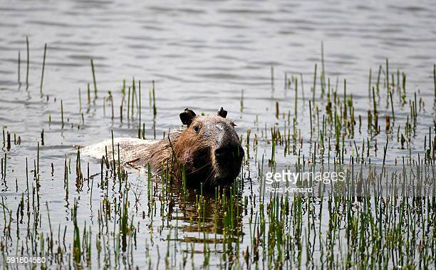 Capybara feeding on some grass in the lake during the second round of the Women's Individual Stroke Play golf on day 13 of the Rio Olympics at the...