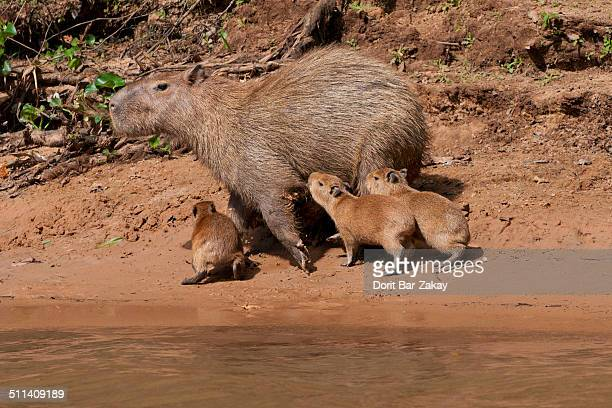Capybara female and cubs