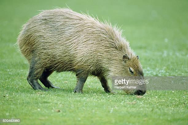 capybara grazing in a meadow - capybara stock pictures, royalty-free photos & images