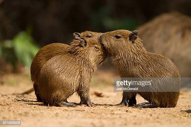 capybara, hydrochaeris hydrochaeris, world's largest rodent, matto grosso, pantanal, brazil, south america - capybara stock pictures, royalty-free photos & images
