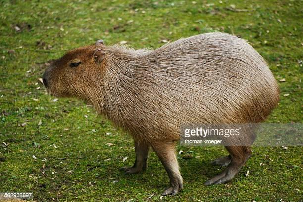 Capybara -Hydrochoerus hydrochaeris-, captive