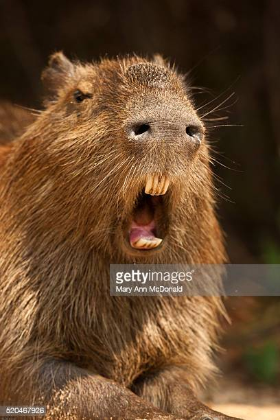 capybara, hydrochoerus hydrochaeris, in the jungle of the pantanal, brazil. - capybara stock pictures, royalty-free photos & images