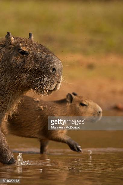 capybara, hydrochoerus hydrochaeris, in the jungle of the pantanal, brazil. - mato grosso state stock pictures, royalty-free photos & images