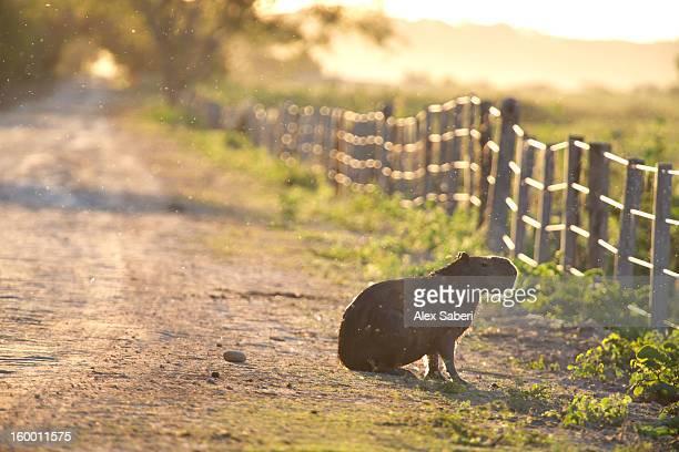 a capybara, hydrochoerus hydrochaeris, on the side of a road. - alex saberi stock-fotos und bilder