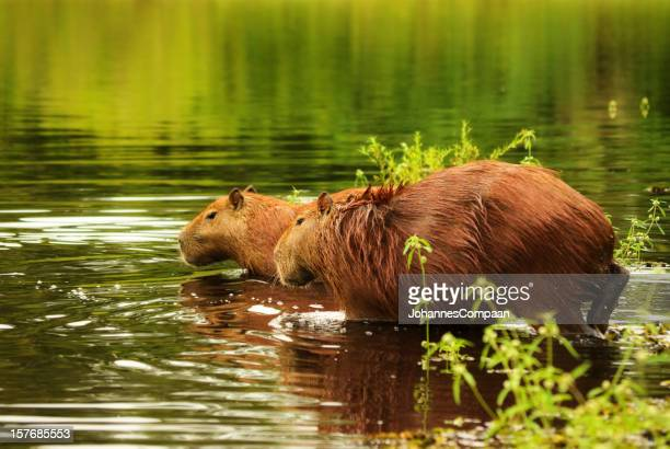 capybara - hydrochoerus hydrochoeris. pantanal, brazil. - pantanal wetlands stock pictures, royalty-free photos & images