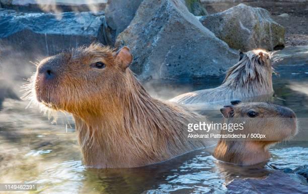 capybara in hot spring - capybara stock pictures, royalty-free photos & images