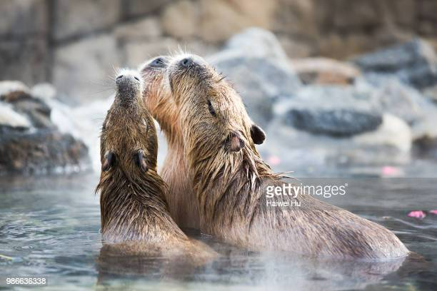 capybara in hot springs in izu shaboten park, japan. - capybara stock pictures, royalty-free photos & images