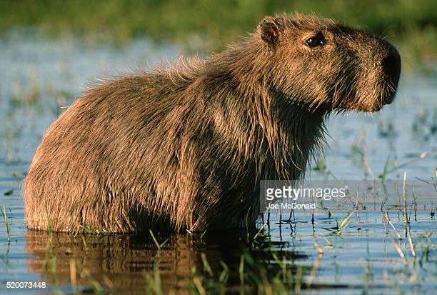 capybara in marsh - capybara stock pictures, royalty-free photos & images