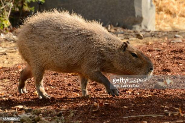 A Capybara is pictured at the Paris Zoological Park formerly known as the Bois de Vincennes Zoological Park in Paris The zoo reopened to the public...