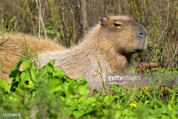 Capybara is seen on the shore of the Laguna de los Padres lake, near Mar del Plata, Argentina, on May 8 amid the new coronavirus pandemic. -...