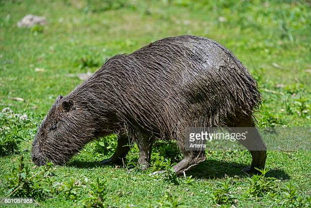 Capybara largest rodent in the world native to South America