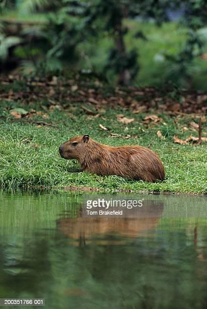 Capybara (Hydrochaeris hydrochaeris) laying on grass along water, Central or South America