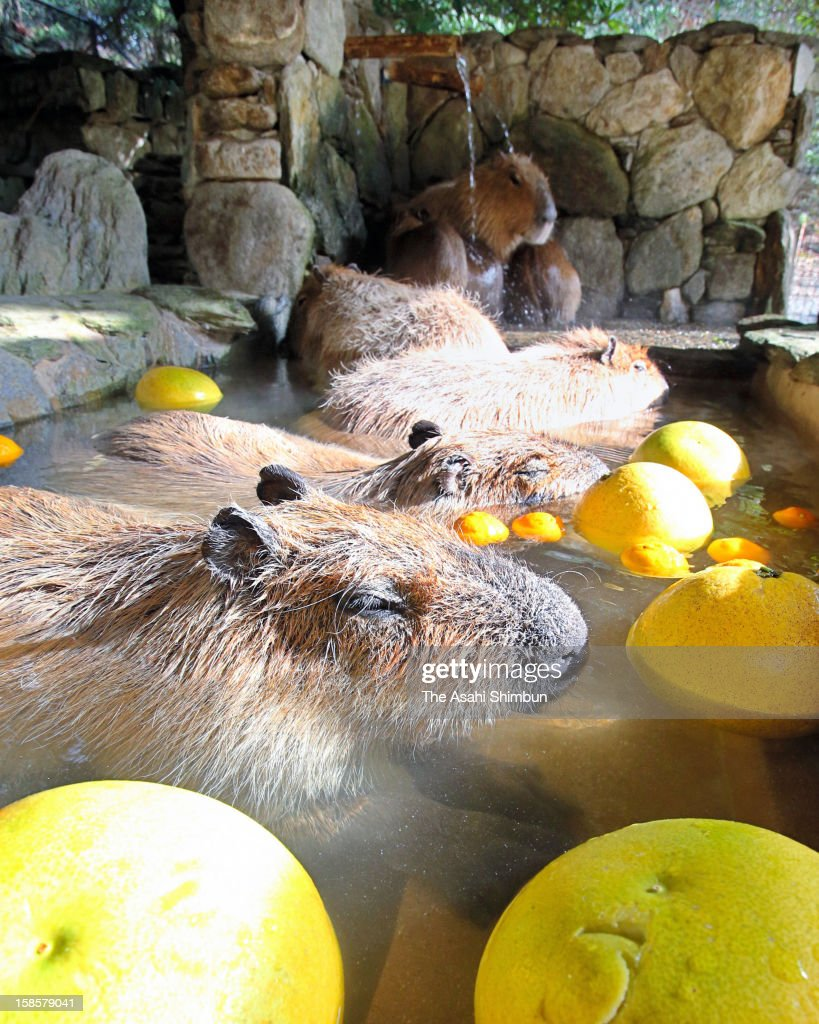 Capybara look relaxed in an outdoor hot spring at Nagasaki Bio Park on December 18, 2012 in Saikai, Nagasaki, Japan. The hot spring event will be until the end of February.