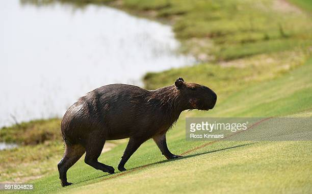 Capybara makes his way across the thirs fairway during the second round of the Women's Individual Stroke Play golf on day 13 of the Rio Olympics at...