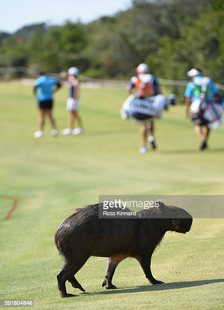 A capybara makes his way across the thirs fairway during the second round of the Women's Individual Stroke Play golf on day 13 of the Rio Olympics at...