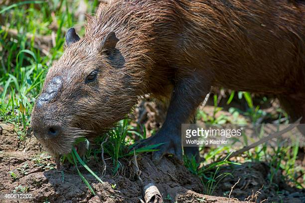 Capybara male feeding on a river bank of a tributary of the Cuiaba River near Porto Jofre in the northern Pantanal, Mato Grosso province in Brazil....