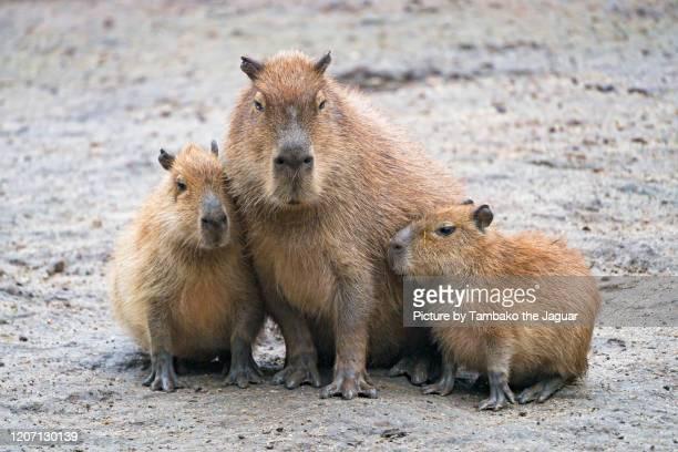 capybara mother with offspring - capybara stock pictures, royalty-free photos & images
