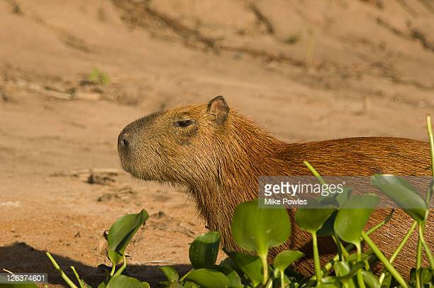 Capybara (Hydrochoerus hydrochaeris) on shore, Paraguay River, Western Pantanal, Brazil