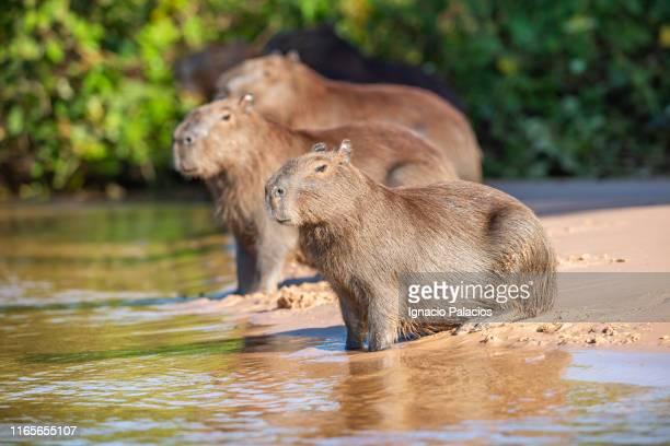 capybara (hydrochoerus hydrochaeris), pantanal wetlands, brazil - capybara stock pictures, royalty-free photos & images