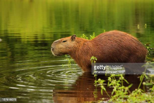 カピバラ、パンタナル湿地帯には、ブラジル