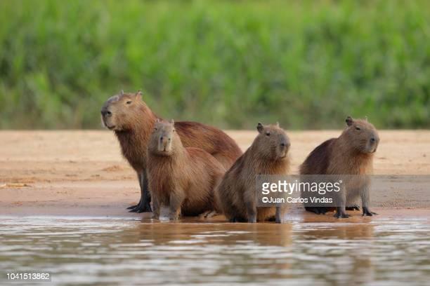 capybara (hydrochoerus hydrochaeris) - capybara stock pictures, royalty-free photos & images