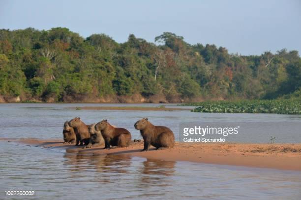 capybara - pantanal wetlands stock photos and pictures