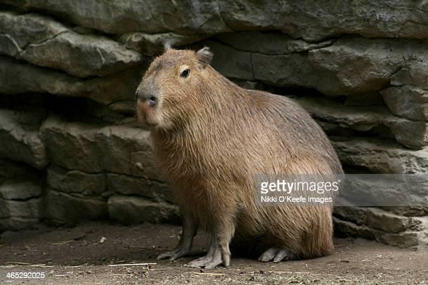 capybara - capybara stock pictures, royalty-free photos & images