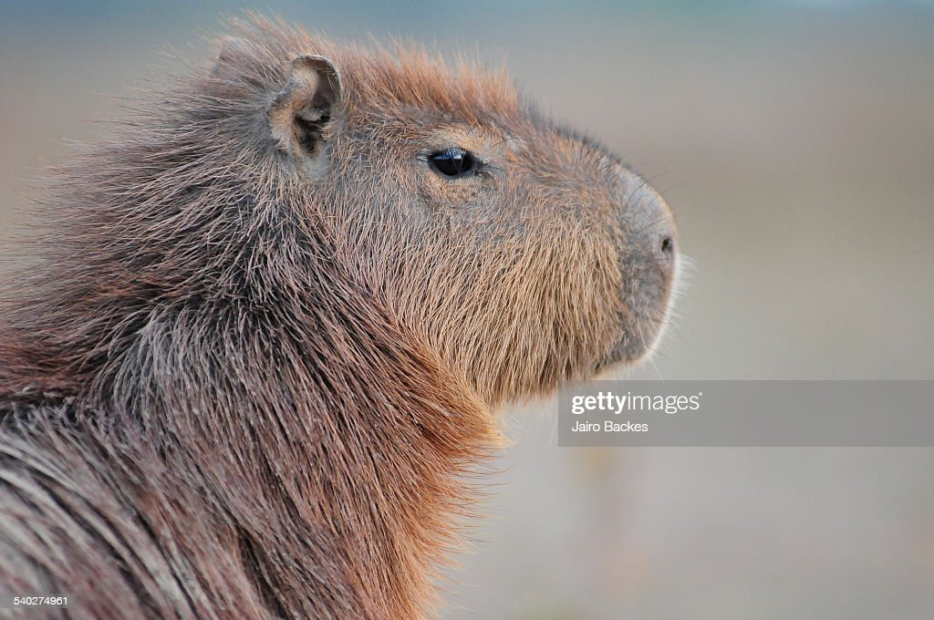 Capybara : Stock Photo