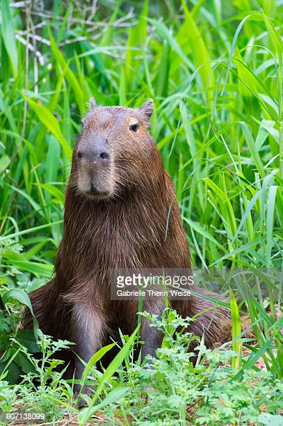 capybara - cuiaba river stock pictures, royalty-free photos & images